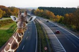 Giraffe on the Highway